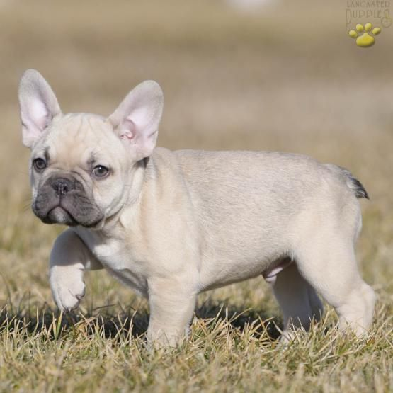 Chaz - French Bulldog Puppy for Sale in Bucks County, PA | Lancaster