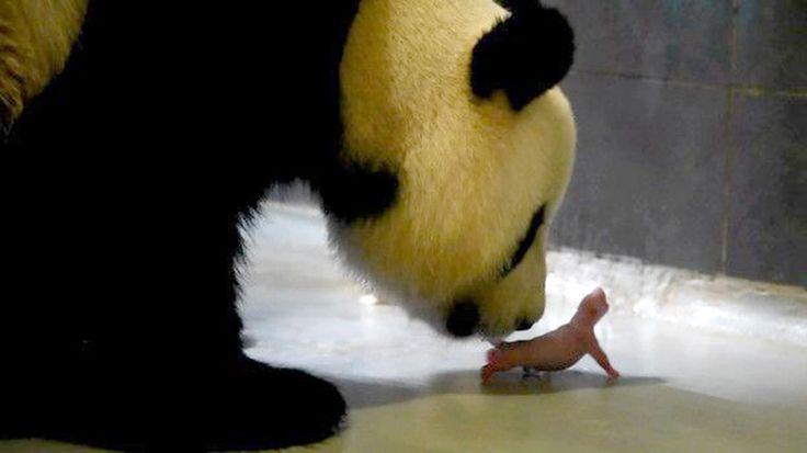 Çin'e bağlı özerk yönetim bölgesi Makau'da dev bir panda ikiz doğurdu. Şin Şin adlı dev pandanın yavruları, Makau bölgesinde doğan ilk pandalar oldu Detaylar ajanimo.com'da.. #ajanimo #ajanbrian #hayvan #animal #panda #baby