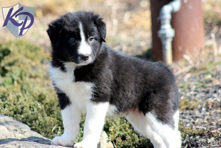 Duke – Border Collie Puppies for Sale in PA | Keystone Puppies