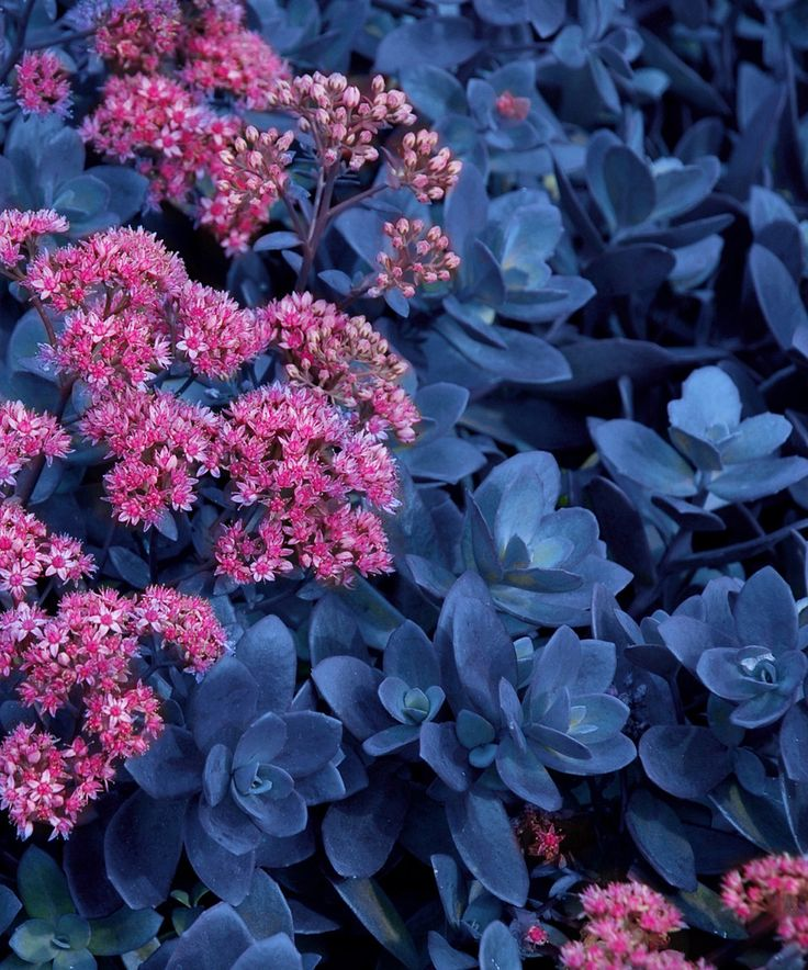 Another great find on #zulily! Live 'Blue Pearl' Sunsparkler Sedum Plant - Set of Three by Cottage Farms Direct #zulilyfinds