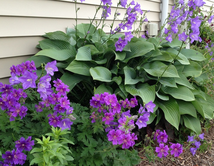 Cool blues!  Bell flower and perrenial geranium with hosta.