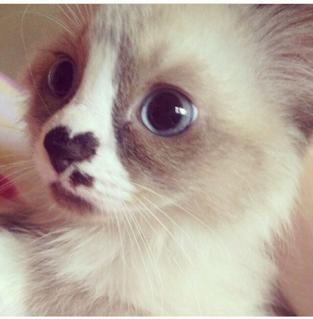 scottish folded ear cat