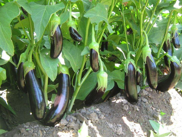 Patlıcan yetiştiriciliği hakkında yazılmış kısa ve özgün yazımızı buradan okuyabilirsiniz.