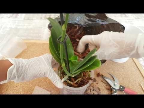 Orkide çoğaltma 2 - Çiçek sapından üretme, klonlama. Orchid propagation by Cloning, produce Keiki
