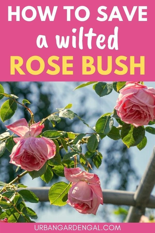 How To Save A Wilted Rose Bush Wilted Rose Rose Bush Planting Roses