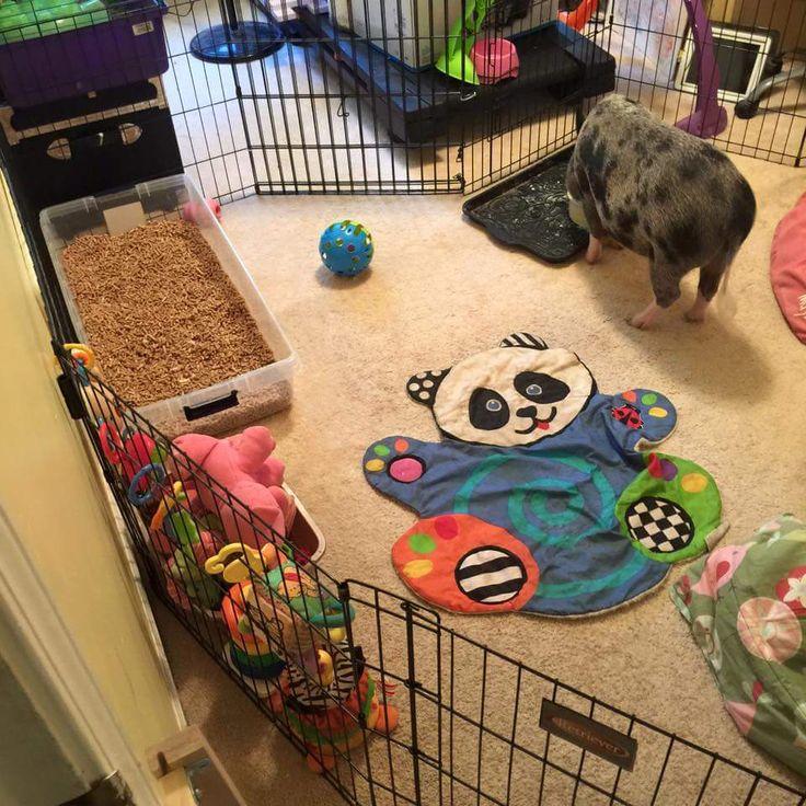 Mini Pig Indoor Housing Indoor Housing Examples