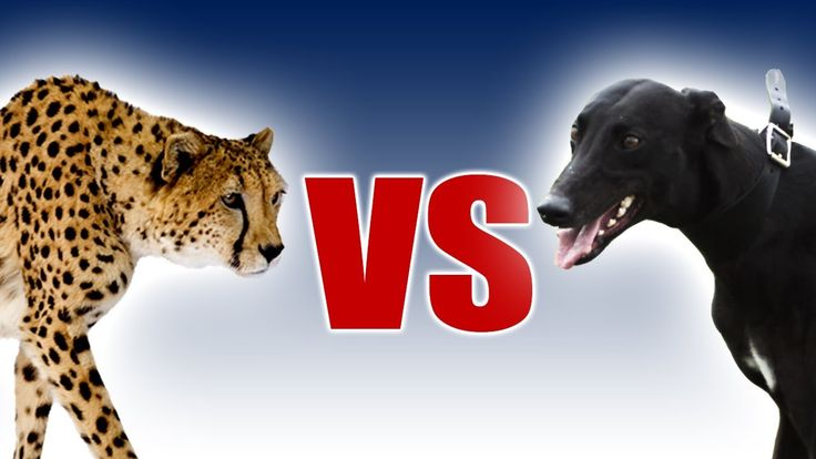 Dogs Vs Cats Animal Planet Voting