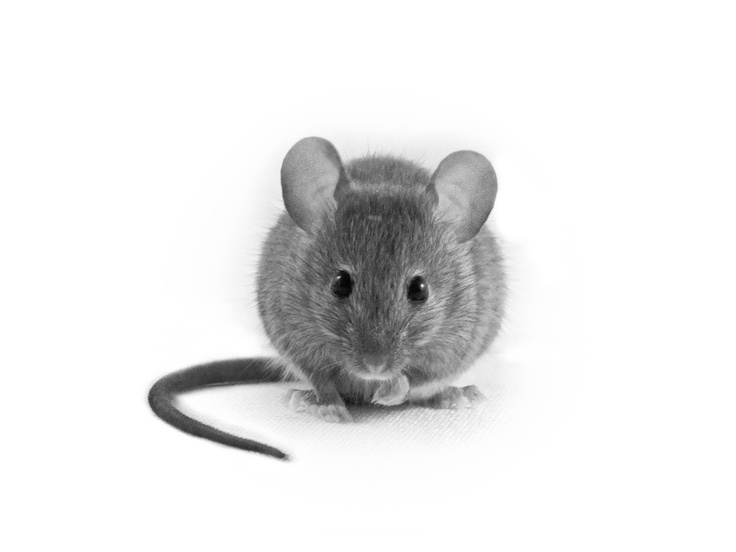 House mouse model organism