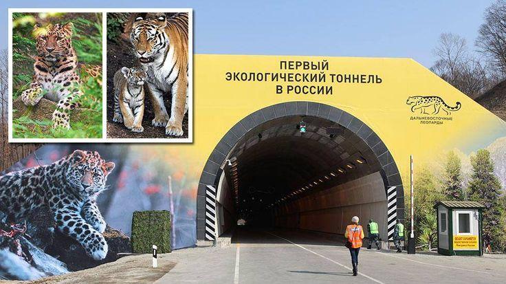 Moottoritiesuunnitelmat uusiksi: Venäjä rakensi tunnelin pelastaakseen uhanalaiset leopardit ja tiikerit - Ulkomaat - Ilta-Sanomat