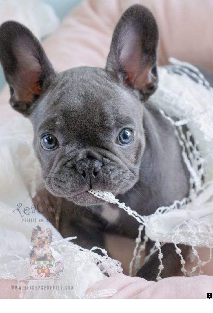 Pin By Ron On Dogs In 2020 French Bulldog Puppies Blue French Bulldog Puppies French Bulldog Blue