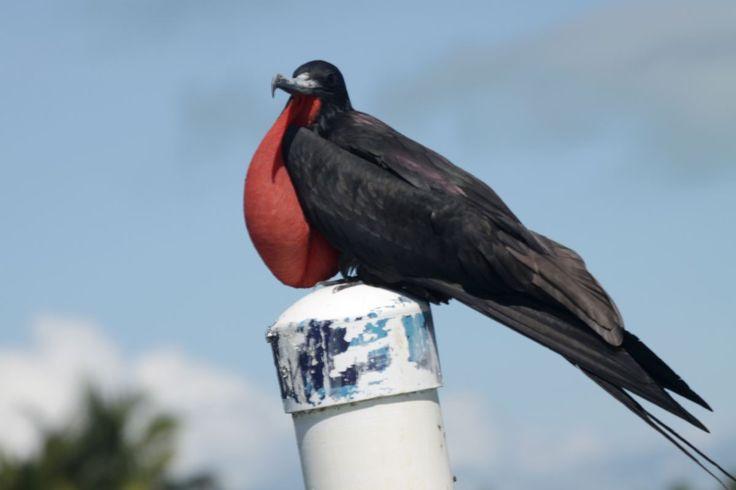Shipyard, Belize | Fotografias de Aves (parte 2) : Viajes, Fotografía y Más