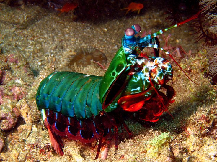 """""""DEAR MORTAL, YOUR RAINBOW IS PUNY. LOVE, MANTIS SHRIMP"""" Harlequin Mantis Shrimp 
