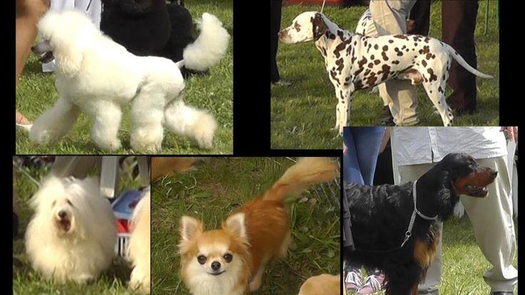 Miskolc Marathon Dog Show 20013.04.27. Csivava - Chihuahua Dalmata - Dalmatian Közép uszkár - Medium Poodle Gordon szetter - Gordon Setter Havannai pincs - Havanese