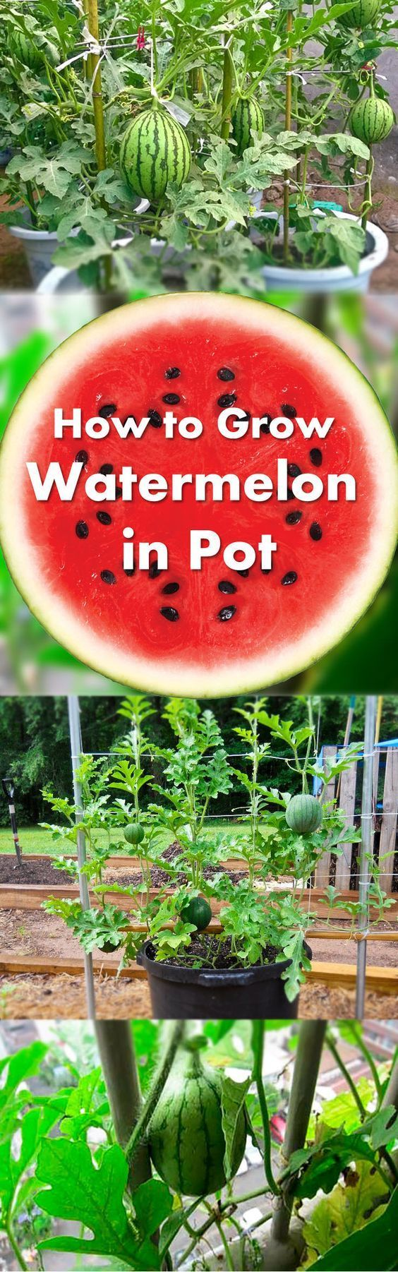 Learn how to grow watermelon in pots. Growing watermelon in containers allow this big, sweet and juicy fruit to grow in smallest of spaces. Interesting gardening  ideas, I would love to grow my own watermelon this summer!