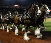 I Clydesdale della Budweiser©Ansa