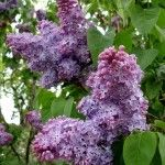 Common Lilac Varieties: What Are Different Types Of Lilac Bushes