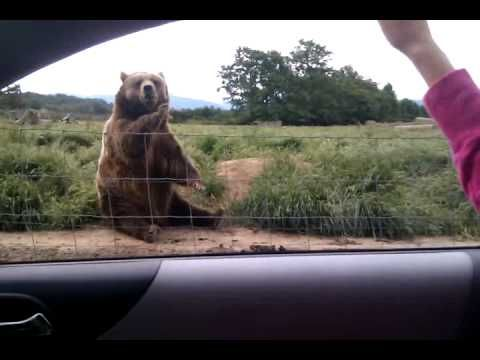 Polite Bear Waves to Car Passenger.