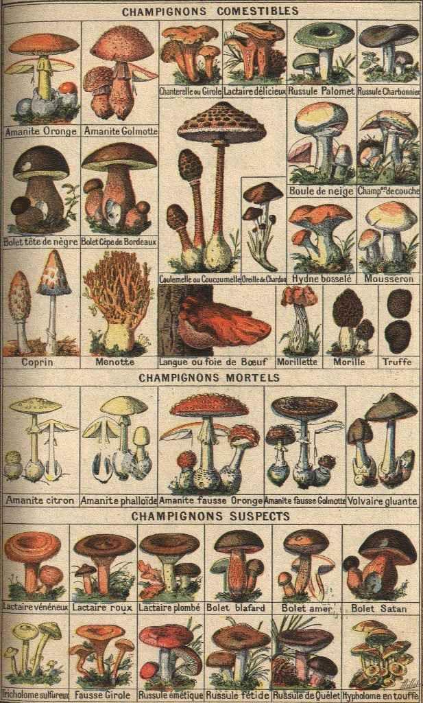Rétro 1908: Bons et mauvais champignons. French edible mushroom chart. See www.techno-science.net