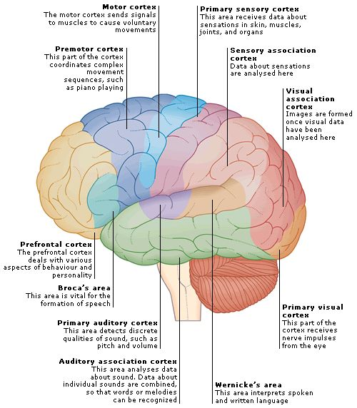 18 best brain images on pinterest the brain brain diagram and
