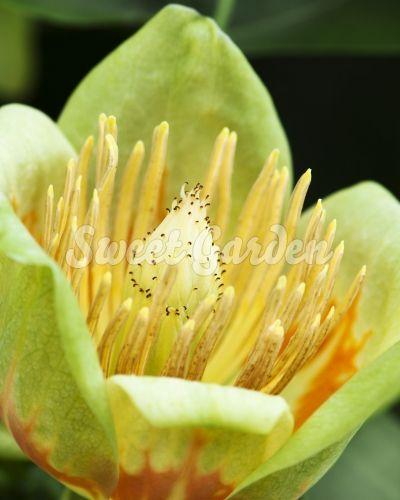 Această raritate este un arbore de lalea de talie mare, originar din America de Nord. Prezintă o deosebită valoare ornamentală...