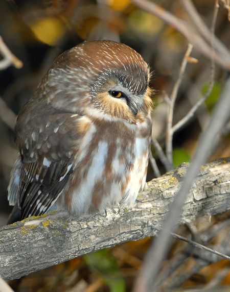northern saw whet owl (tiny lil thing)
