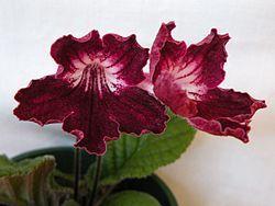 Streptocarpus U0027Andersonu0027s Mr Currieu0027 Hybrid Flowers.JPG. Indoor PlantsGarden  ...