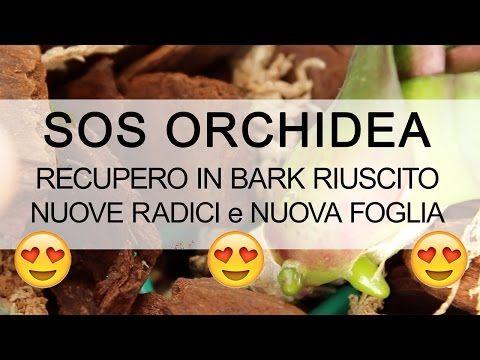 SOS ORCHIDEA - Recupero riuscito NUOVE RADICI - YouTube