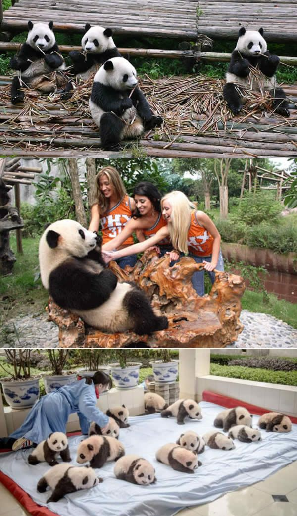Panda Research Center - Chengdu, China. Watch >  http://www.miraedestino.com/pet.cfm?