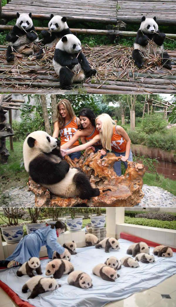Panda Research Center - Chengdu, China. Watch >  http://www.miraedestino.com/pet.cfm?