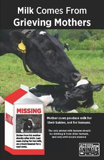 Mother cows produce milk for their babies, not for humans. Milk industry is the veal industry, the cruel dairy industry; go #vegan