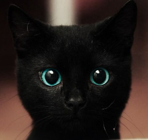 I would love to own a black cat with blue eyes :)