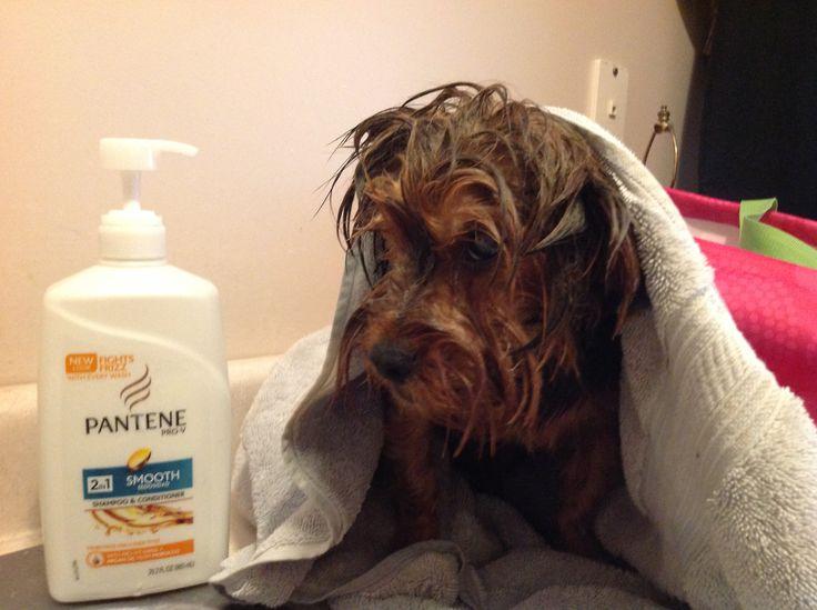 I Bathe My Yorkies In Pantene Shampoo Conditioner The