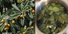 Φύλλα Μουσμουλιάς - Οι Μυστικές Θεραπευτικές τους Ιδιότητες Για το Διαβήτη, το Δέρμα & το Πάγκρεας που τις Ακούμε Πρώτη Φορά!