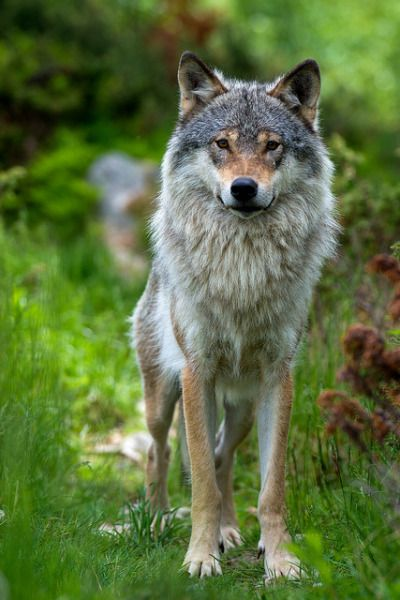 Eurasian wolf in Norway