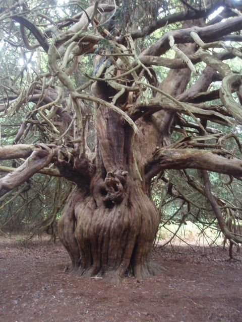 A Yew tree - at Newlands Corner in the Surrey Hills - believed to be 1,500 to 2,000 years old.