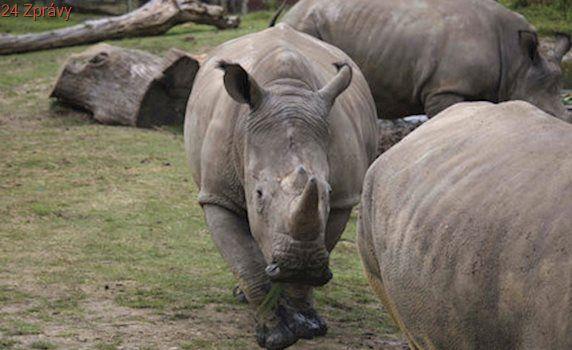 Nosorožci v ohrožení: Jihoafrický soud povolil obchod s rohy