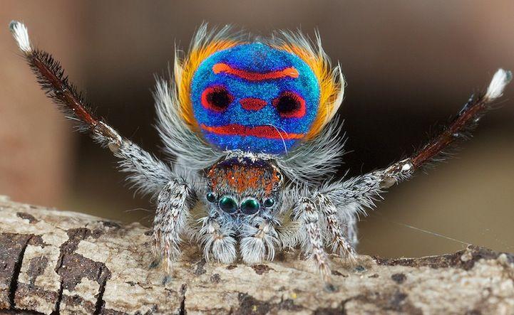 Обитающий в #восточной части #Австралии #паук-павлин (Maratus volans) – должно быть, один из самых #красивых пауков в мире. Необыкновенную #привлекательность придает ему пестрое брюшко, которое он расправляет подобно тому, как #павлин расправляет свой #хвост.