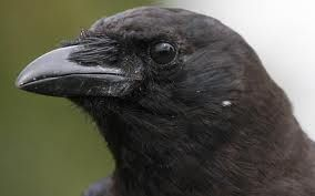 Symbolic Crow Meaning - Messenger of Foretelling - Universe of Symbolism