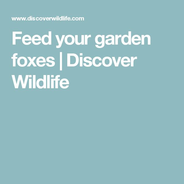 Feed your garden foxes | Discover Wildlife