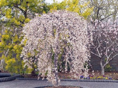 Small ornamental trees zone 5 snow fountains weeping for Small specimen trees