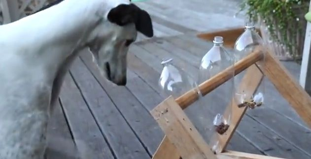 Dan Noyes decided to build his greyhounds a homemade treat dispenser toy after seeing a video of the one made for a Belgian Malinois. But he never imagined that Zoe, his female Greyhound would figure it out so quickly. And wait until you see what clever thing she does at 1:44...hilarious! Related: Pet parent makes her dog an awesome puzzle toy (video)