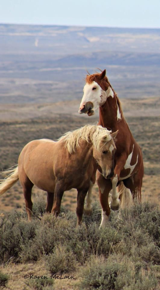 Wild horses playing on open range. Thrilling! Photo by Karen McLain- Two Sand Wash Bachelors in Colorado. The Pinto's name is Cowboy.