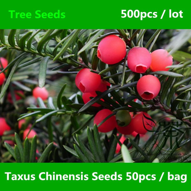 Widely Planted Taxus Chinensis Seeds 500pcs, Much Loved Chinese Yew Evergreen Tree Seeds, Ornamental Plant Taxus Sumatrana Seeds