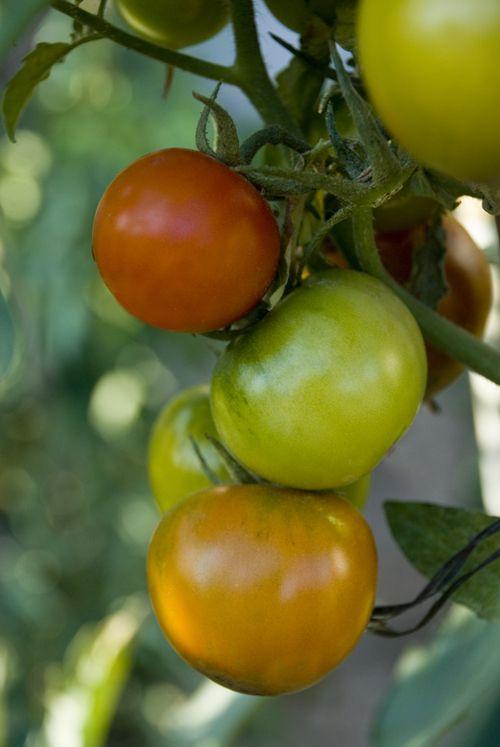Il Pomodoro Nome scientifico: Solanum lycopersicum Provenienza: Centro e Sud America Stagionalità: da Giugno a Settembre Valori Nutrizionali: Con 18 calorie per 100 grammi, il pomodoro è un'ottima fonte di fibre, Vitamina A, Vitamina C se consumato crudo, Vitamina K, Potassio e Manganese. È anche una buona fonte di Tiamina, Niacina, Vitamina B6, Acido Folico, …