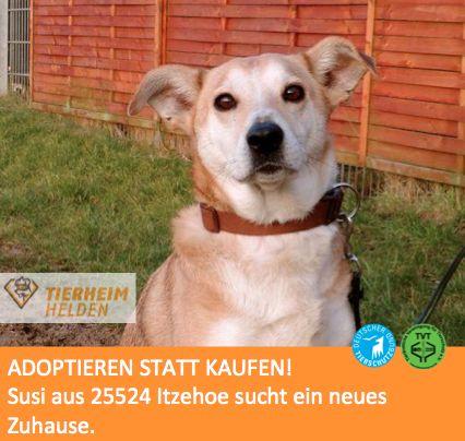 Wegen ihres Alters sitzt Susi schon seit über einem Jahr im Tierheim Itzehoe.  http://www.tierheimhelden.de/hund/tierheim-itzehoe/podenco_mix/susi/6486-0/  Dabei ist Susi fit wie ein Turnschuh und eine liebevolle Weggefährtin. Sie ist zwar ab und zu unsicher, ein Zweithund oder eine Person, die ihr Stabilität gibt, würde ihr aber sicher die nötige Stabilität geben. Katzen und nicht allzu kleine Kinder wären im neuen Zuhause kein Problem.