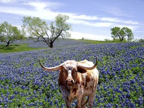 Texas Longhorn cow poses in a field of blue bonnets in the Hill Country of central Texas.  Go to www.YourTravelVideos.com or just click on photo for home videos and much more on sites like this.