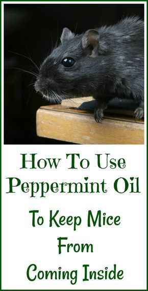Cute How to use peppermint essential oil to potentially keep mice from ing inside