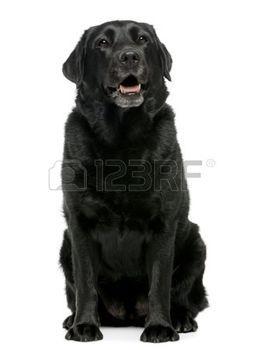 labrador%3A+Black+Labrador+retriever+4+jaar+oud%2C+zitten+voor+witte+achtergrond++Stockfoto