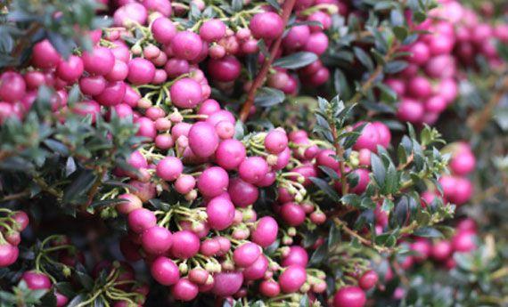 Oltre 25 fantastiche idee su arbusti su pinterest piante - Camelia pianta da esterno ...