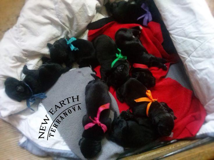 Cachorros Terranova Nacidos El 19 Octubre 2014